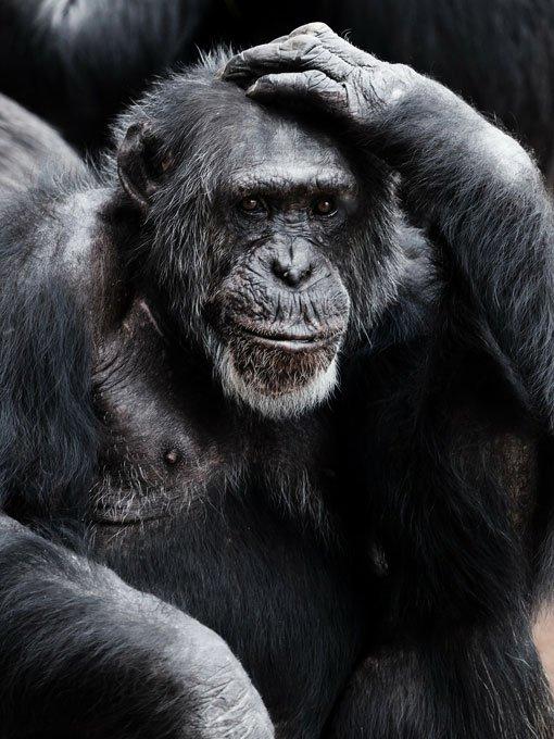 Affe sitzt und denkt