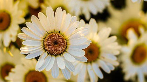 Weisse Gerbera Blumen
